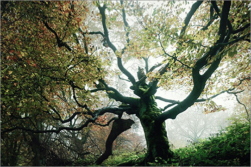The old beech tree