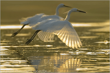simultaneousness…♫ little egrets